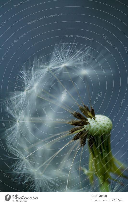 Pusteblume Natur Pflanze Frühling Sommer Blume Grünpflanze blau grün weiß Farbfoto Außenaufnahme Nahaufnahme Detailaufnahme Makroaufnahme Strukturen & Formen