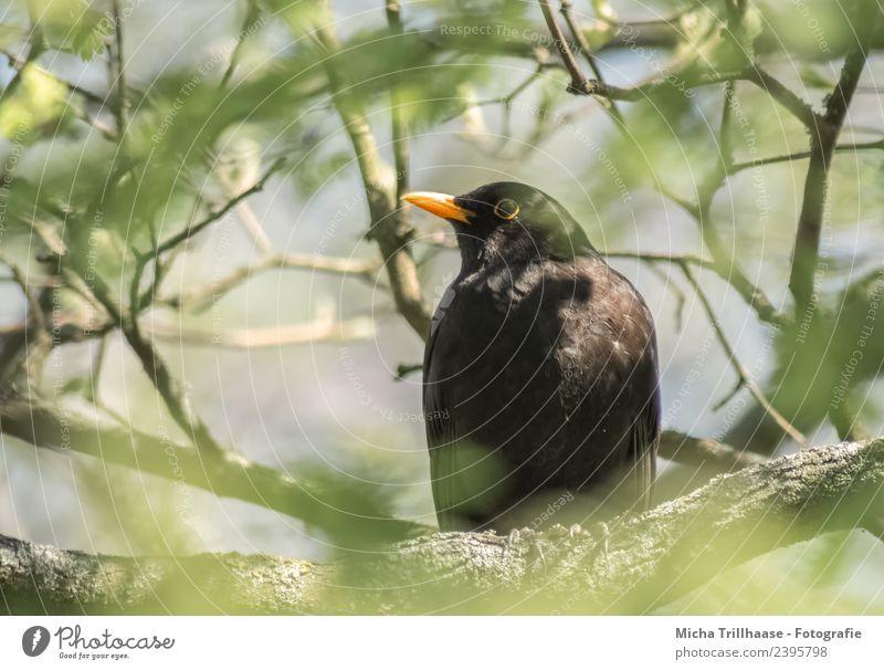 Amsel im Baum Natur Pflanze grün Sonne Tier Blatt schwarz Auge gelb Umwelt Vogel orange leuchten Wildtier sitzen