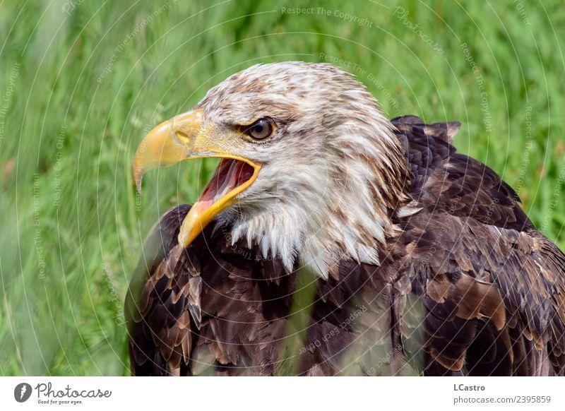 Weißkopfseeadler-Porträt auf grünem Gras Natur Tier Vogel Tiergesicht Zoo Weisskopfseeadler 1 Bundesadler schreien Konflikt & Streit Aggression Wut braun weiß