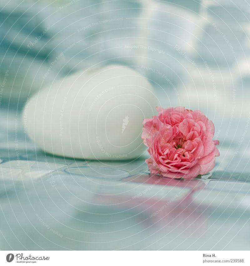 Still mit Rose weiß Blüte rosa liegen ästhetisch Vergänglichkeit Stillleben Blume