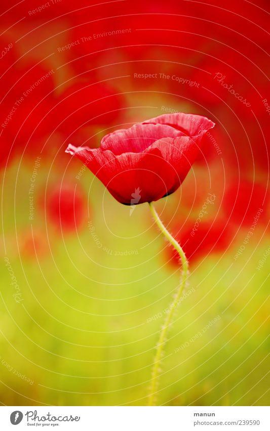 Einzelmohn Natur grün schön rot Sommer Blume Frühling natürlich authentisch ästhetisch fantastisch Blühend zart Mohn Duft Blütenblatt