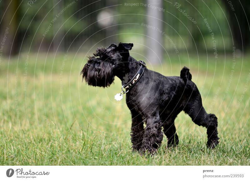 im park Tier Gras Park Wiese Haustier Hund 1 stehen grün schwarz Zwergschnauzer Schnauze Halsband Farbfoto Außenaufnahme Menschenleer Tag Sonnenlicht