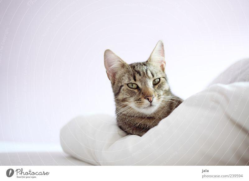 don schnurro weiß Tier grau Katze braun Bett Tiergesicht liegen genießen Geborgenheit Haustier selbstbewußt Sympathie Bettdecke Tierliebe