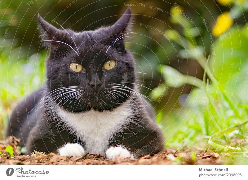 Katzenblick Tier Haustier 1 liegen Blick Glück schön einzigartig kuschlig natürlich Neugier niedlich grün schwarz Zufriedenheit Warmherzigkeit Liebe Tierliebe
