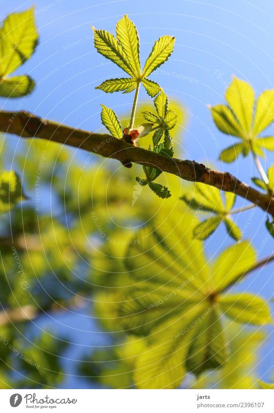 kastanienbaum I Natur Frühling Schönes Wetter Pflanze Baum Blatt Garten Park Wald Wachstum frisch hell natürlich neu positiv grün Kastanienbaum Farbfoto