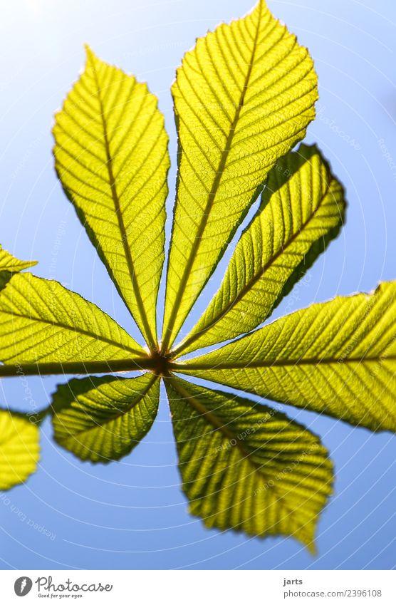 kastanienblatt Pflanze Himmel Frühling Schönes Wetter Blatt ästhetisch frisch hell natürlich grün Natur Kastanienblatt Kastanienbaum Farbfoto Außenaufnahme