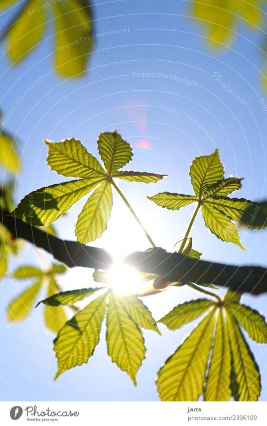 sonnenschein Natur Himmel Frühling Schönes Wetter Pflanze Baum Blatt frisch hell natürlich schön blau grün Zufriedenheit Gelassenheit geduldig ruhig Reinheit