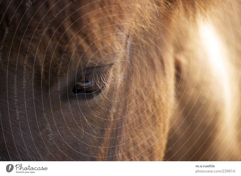 in Auge Tier Haustier Pferd 1 natürlich wild weich Vertrauen Wimpern Ponys Pferdekopf Mähne Tiergesicht tierisch Fell Farbfoto Menschenleer Textfreiraum links