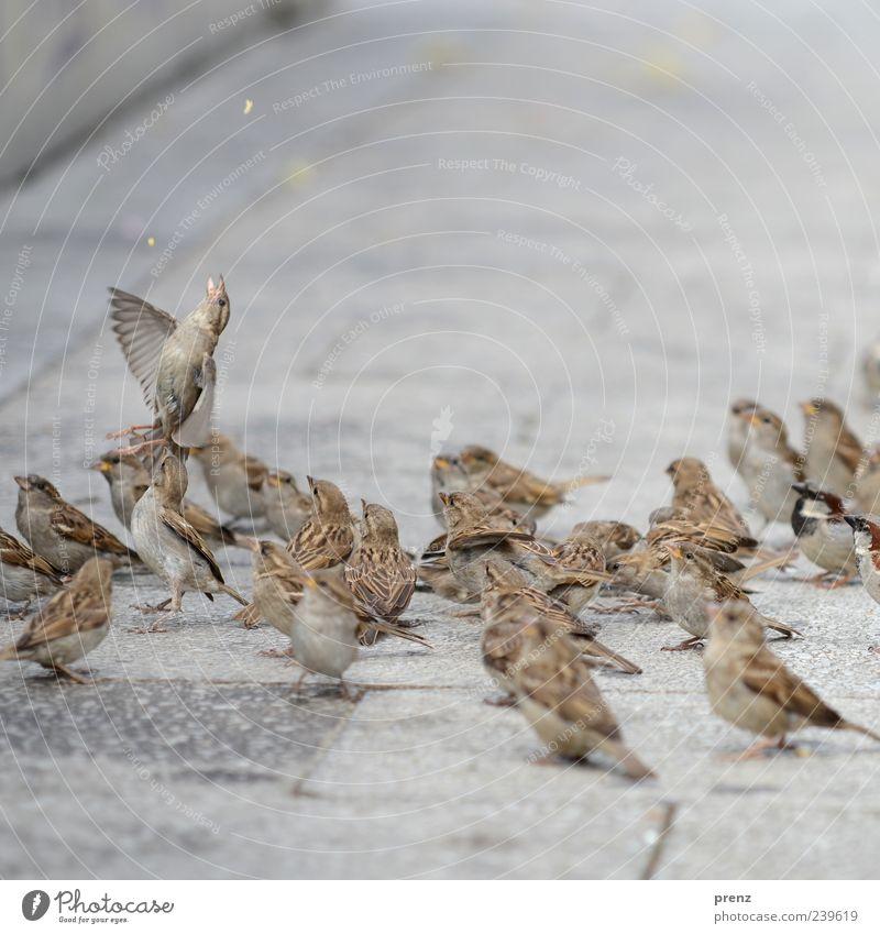 einer versucht es Tier Vogel Tiergruppe fliegen Fressen grau Spatz fliegend Fußweg füttern Flügel Farbfoto Außenaufnahme Menschenleer Tag Schwache Tiefenschärfe