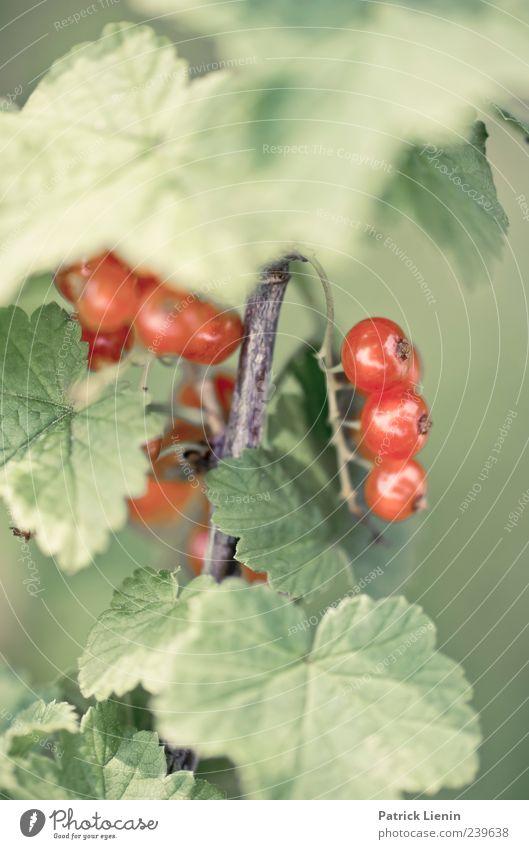 Saure Früchtchen [2] Natur grün rot Pflanze Sommer Umwelt Ernährung Lebensmittel Frühling Zufriedenheit Frucht Kraft ästhetisch Sträucher Gesunde Ernährung rein