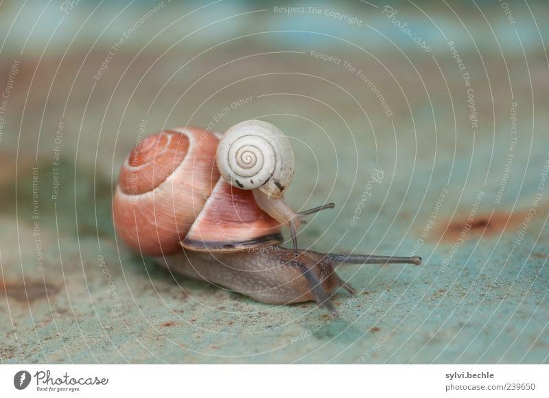 Mitfahrgelegenheit II Tier Bewegung Tierjunges Zusammensein Tierpaar Wildtier Sicherheit Neugier berühren entdecken Rost Geborgenheit Schnecke krabbeln