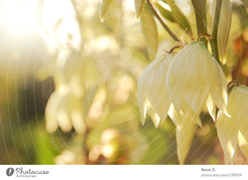 Sonnenblumen Natur weiß grün schön Pflanze Sommer Blume ruhig Erholung gelb Blüte hell gold natürlich Schönes Wetter