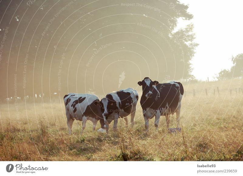 Vaches, Kühe, Cows Natur schön Tier ruhig Umwelt Wiese Leben Herbst Gefühle Gras Freiheit Wetter Feld Nebel authentisch Idylle
