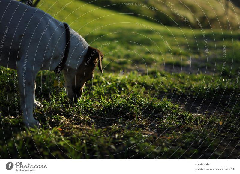 Mimi Natur Gras Wiese Hügel Tier Hund 1 beobachten Jagd warten Suche Geruch Blick braun-weiss weiß Farbfoto Außenaufnahme Textfreiraum rechts Abend