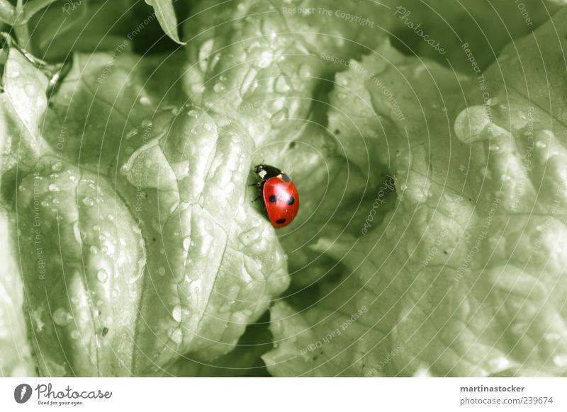 neue Salatvariation Natur Wasser weiß grün rot Pflanze Sommer Blatt Tier schwarz ruhig Umwelt Garten Regen Wildtier frisch