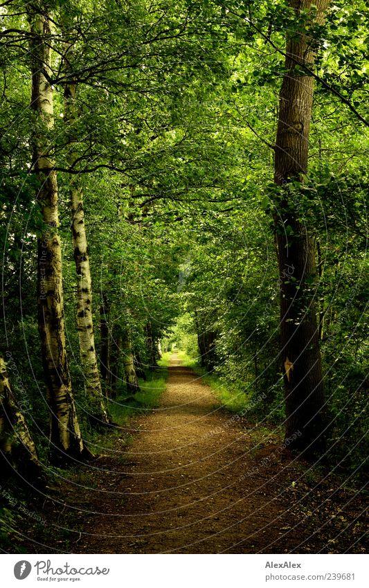 Jungfernstieg Natur alt grün Baum Pflanze Sommer Blatt Einsamkeit ruhig Wald Landschaft Wege & Pfade braun Erde natürlich ästhetisch