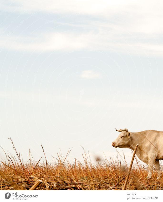 Mit dem Kopf durch die Wand. Himmel Sommer Tier Landschaft Gras Kraft Feld beobachten Fell heiß trocken Landwirtschaft stark Kuh Horn Willensstärke