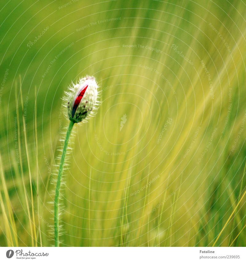 Ich werd mal wunderschön! Umwelt Natur Pflanze Sommer Blume Blüte Wildpflanze Feld hell nah natürlich grün rot Blütenknospen Mohn Mohnblüte Kornfeld Farbfoto