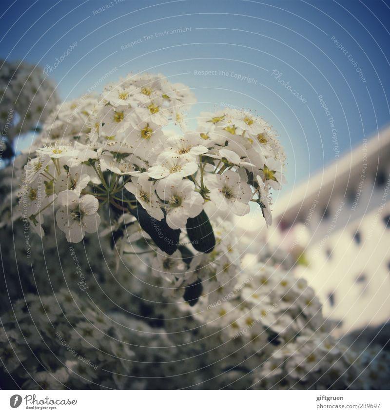 großstadthelden Pflanze Himmel Wolkenloser Himmel Frühling Sommer Schönes Wetter Blume Sträucher Blatt Blüte Haus Fassade Fenster Blühend Wachstum blau weiß