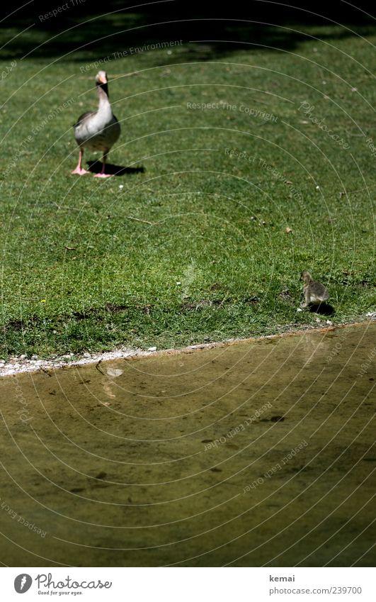 Erste Gehversuche Natur Wasser grün Pflanze Tier Umwelt Wiese Tierjunges Park warten Flussufer Ente Gans Wassergraben Tierfamilie