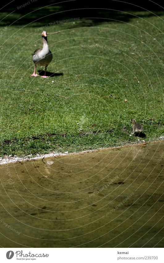 Erste Gehversuche Umwelt Natur Pflanze Tier Wasser Park Wiese Flussufer Gans Ente 2 Tierjunges Tierfamilie warten grün Wassergraben Farbfoto Außenaufnahme Tag