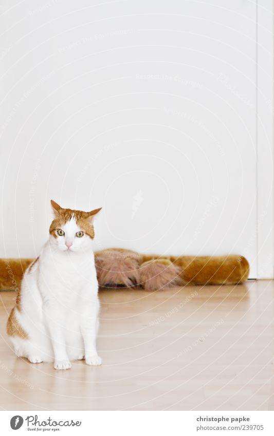 hungrige unzufriedene katze Katze weiß Tier braun sitzen niedlich Fell Haustier Gleichgültigkeit Katzenauge