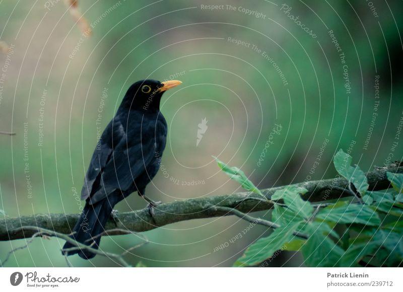Wächter des Waldes Umwelt Natur Pflanze Urelemente Tier Wildtier Vogel Flügel 1 Blick sitzen dunkel schön schwarz ästhetisch einzigartig Stil Amsel Schnabel