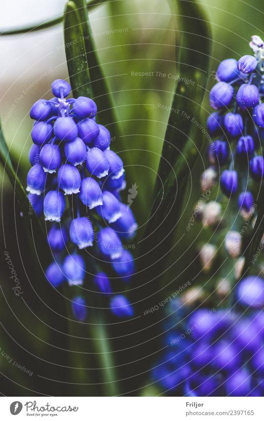 Hyacinthus Natur Pflanze Frühling Blume Gras Blatt Blüte Grünpflanze Wiese ästhetisch Duft authentisch frisch natürlich schön wild blau grün Hyazinthe