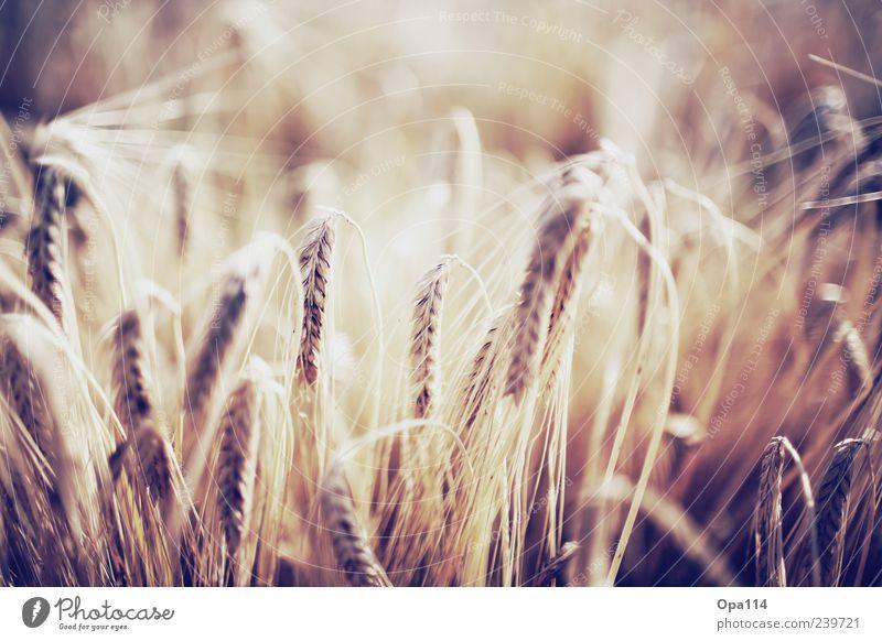 Gerste Natur Pflanze Sommer Umwelt gelb Gefühle Stimmung braun Zufriedenheit Feld gold leuchten Schönes Wetter Ähren Freisteller
