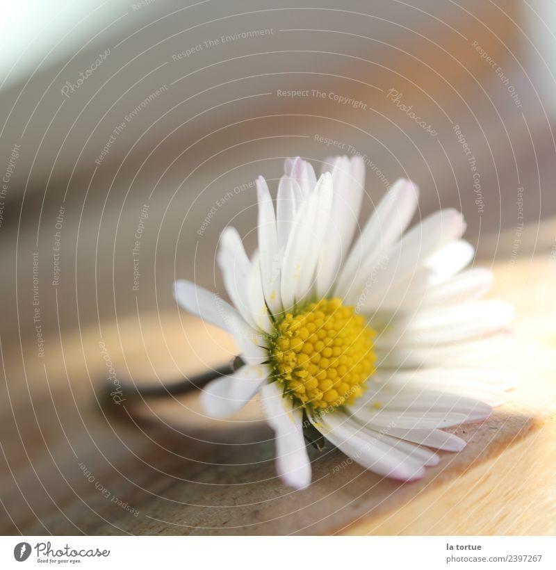 Blümchen Natur Pflanze Frühling Blume Blüte Garten Wiese Blühend außergewöhnlich natürlich schön gelb weiß Umwelt Farbfoto mehrfarbig Nahaufnahme Detailaufnahme