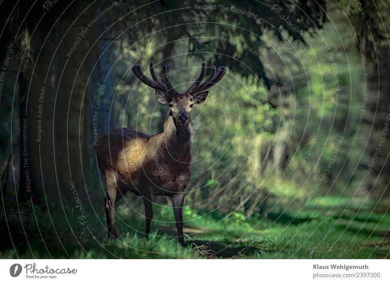 Rothirsch im Bast Natur Sommer grün Baum Tier Einsamkeit Wald Umwelt Frühling Gras grau braun wild elegant Wildtier Abenteuer