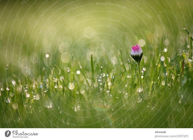Gänseblümchen Pflanze Wassertropfen Frühling Sommer Blume Gras Garten Wiese Lebensfreude Frühlingsgefühle friedlich trösten dankbar achtsam geduldig ruhig