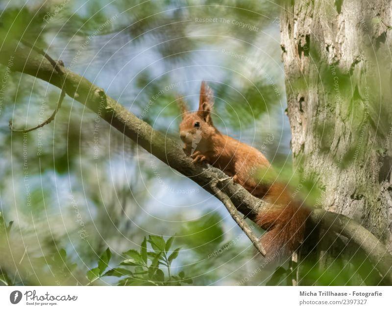 Eichhörnchen im Sonnenschein Himmel Natur blau grün Baum Tier Blatt Wald gelb Umwelt orange leuchten Wildtier Schönes Wetter niedlich
