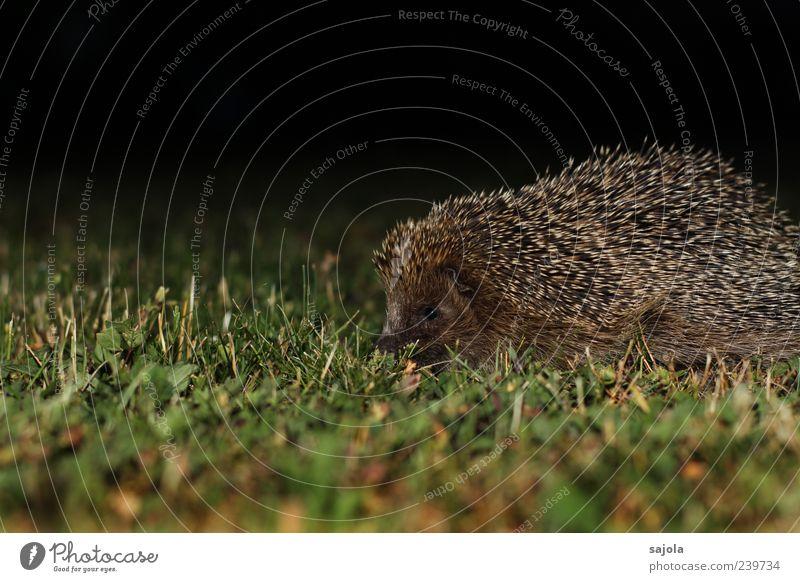 nachtaktiv Natur Tier Rasen Wildtier Igel 1 stachelig braun grün schwarz Nacht Nachtaufnahme Farbfoto Außenaufnahme Menschenleer Textfreiraum oben Abend