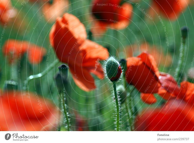 Lebenszyklen Umwelt Natur Pflanze Sommer Blume Blatt Blüte Wildpflanze hell natürlich grün rot Blütenknospen Mohn Mohnblüte Mohnfeld Mohnkapsel Farbfoto