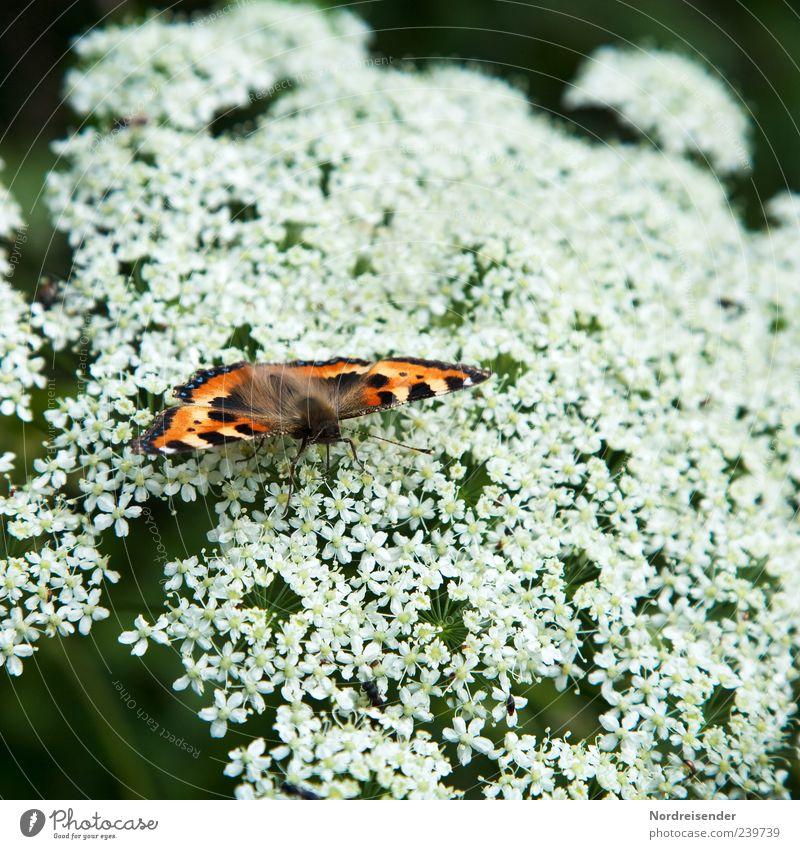 Es ist Sommer Natur weiß schön rot Pflanze Tier schwarz sitzen natürlich ästhetisch Flügel einzigartig Insekt Schmetterling Fressen