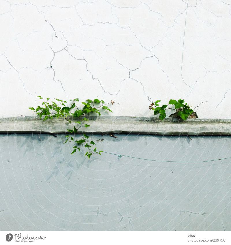 mauerblümchen Natur Pflanze Grünpflanze Wildpflanze Mauer Wand einzigartig grau grün Randzone gerissen Blume verfallen Farbfoto Außenaufnahme Menschenleer