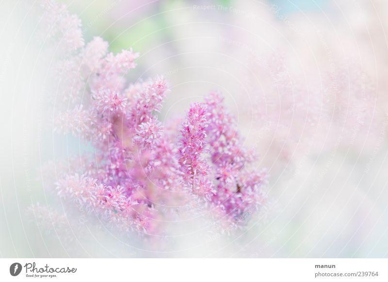 """""""hach""""-zart Natur Pflanze Frühling Sommer Blume Blüte Sommerblumen authentisch Duft hell Kitsch schön rosa weiß Frühlingsgefühle ästhetisch elegant Farbfoto"""