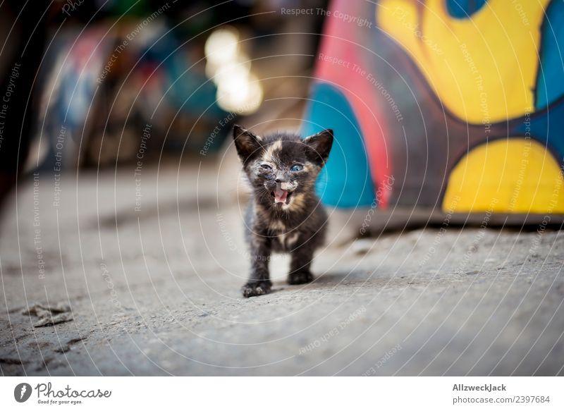 kleine Katze brüllt in die Kamera schön Tierjunges süß niedlich Haustier Hauskatze schreien Tiger Nachkommen Katzenbaby Angriff Miau