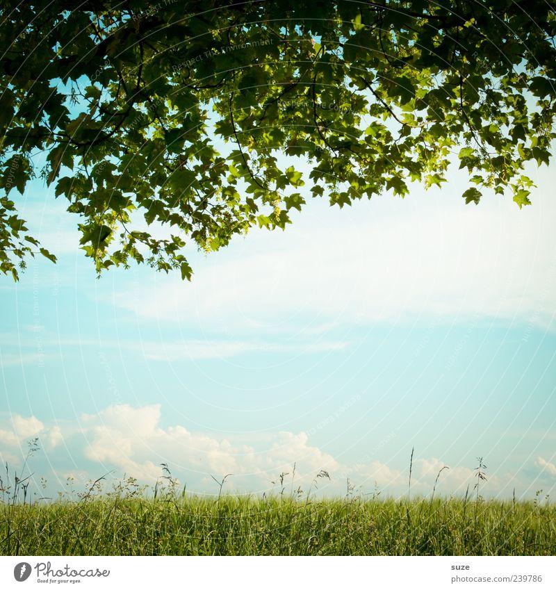 Die Mitte fühlt sich leicht an Umwelt Natur Landschaft Himmel Wolken Sommer Schönes Wetter Baum Blatt Wiese träumen grün Idylle Wachstum Blätterdach Ahorn