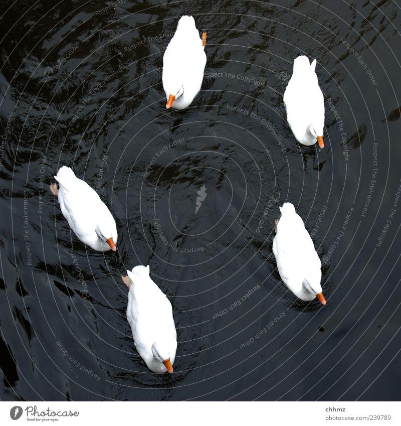 Fünf Freunde Tier Wasser Teich See Fluss Vogel Ente Entenvögel Tiergruppe Schwimmen & Baden schön schwarz weiß Zusammensein Zusammenhalt Im Wasser treiben 5