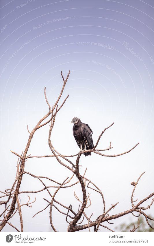 Amerikanischer Mönchsgeier Coragyps atratus Natur Tier Baum Park Teich Wildtier Vogel 1 sitzen warten blau schwarz Tod Geier Coragyps Atratus Aasfresser