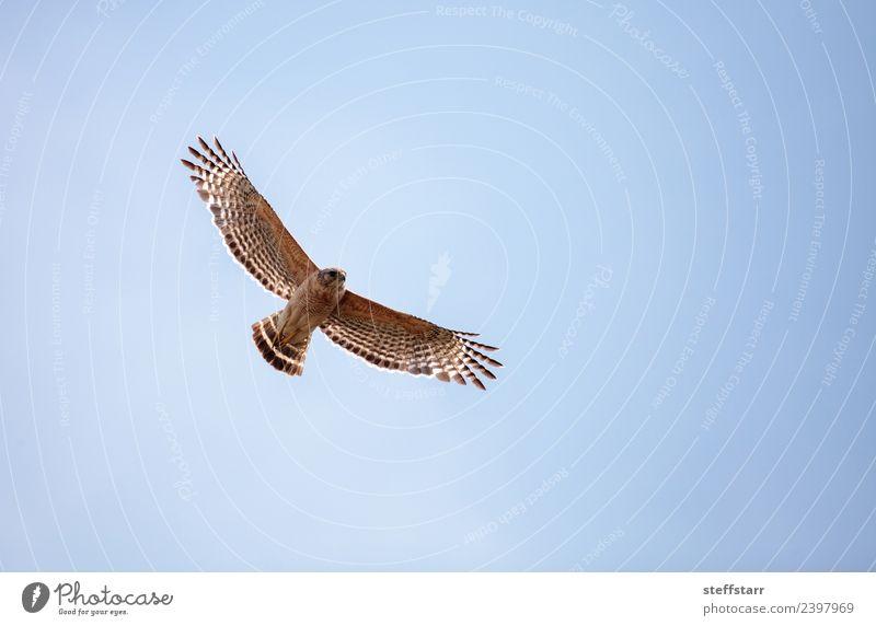 Rotschulteriger Falke Buteo lineatus Himmel Tier Wildtier Vogel Flügel 1 fliegen blau braun Fliege Rotschulterbussard Bussard Greifvogel Raptor Sumpf