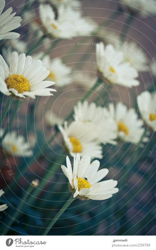 Individualität Natur weiß schön Pflanze Blume Farbe Umwelt gelb Blüte natürlich mehrere frisch stehen viele einzigartig Kitsch