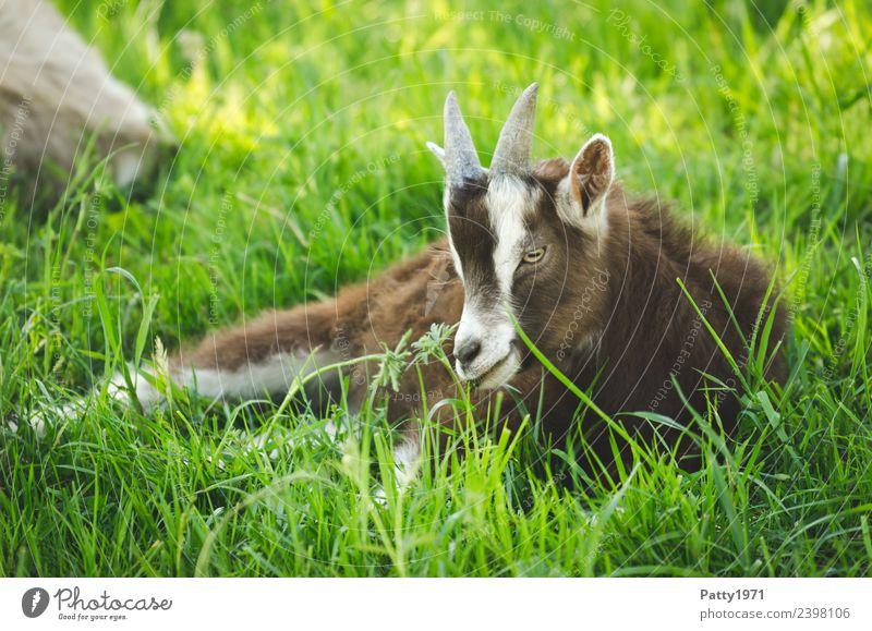 Junge Thüringer Waldziege Natur Landschaft Wiese Weide Tier Haustier Nutztier Ziegen 1 Tierjunges liegen Erholung Idylle Farbfoto Außenaufnahme Menschenleer Tag