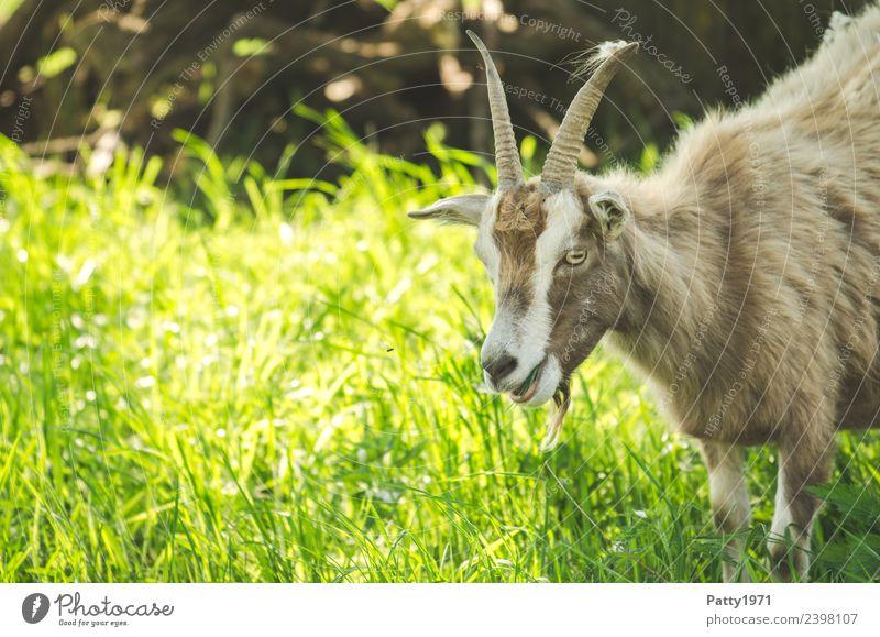 Thüringer Waldziege Natur Landschaft Wiese Weide Tier Haustier Nutztier Ziegen 1 stehen Idylle Farbfoto Außenaufnahme Menschenleer Textfreiraum links Tag