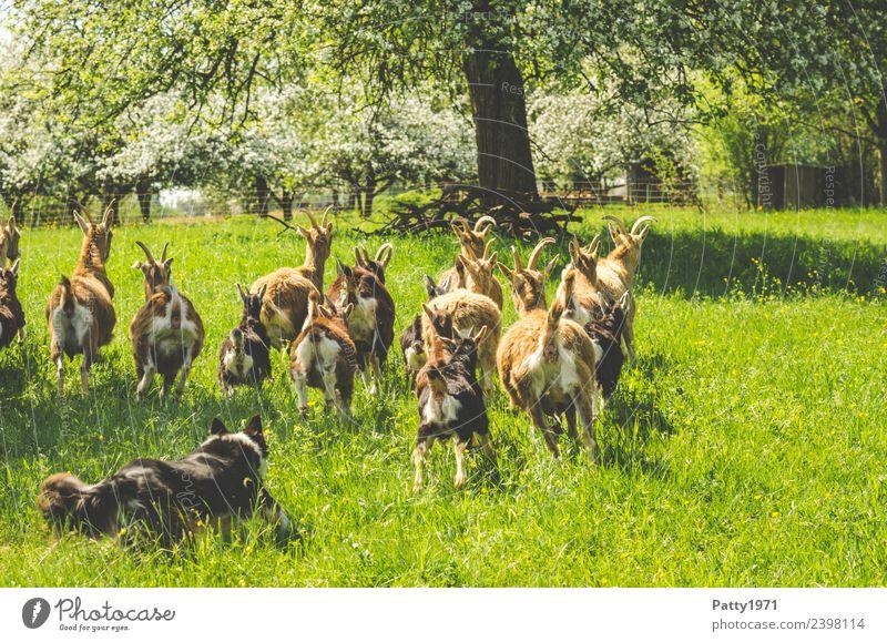 Border Collie hütet Ziegenherde Natur Landschaft Wiese Weide Tier Haustier Nutztier Hund Hirtenhund Schäferhund Herde laufen Idylle Schutz Teamwork behüten