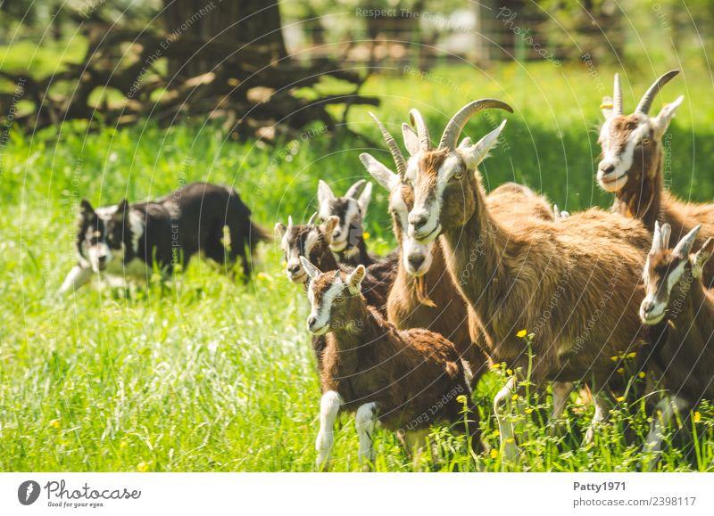 Border Collie hütet Ziegenherde Natur Landschaft Wiese Weide Tier Haustier Nutztier Hund Hirtenhund Schäferhund Thüringer Waldziege Herde beobachten Idylle