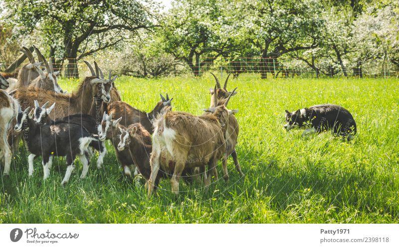 Border Collie hütet Ziegenherde Wiese Weide Tier Haustier Nutztier Hund Hirtenhund Schäferhund Thüringer Waldziege Herde beobachten Idylle Schutz Teamwork