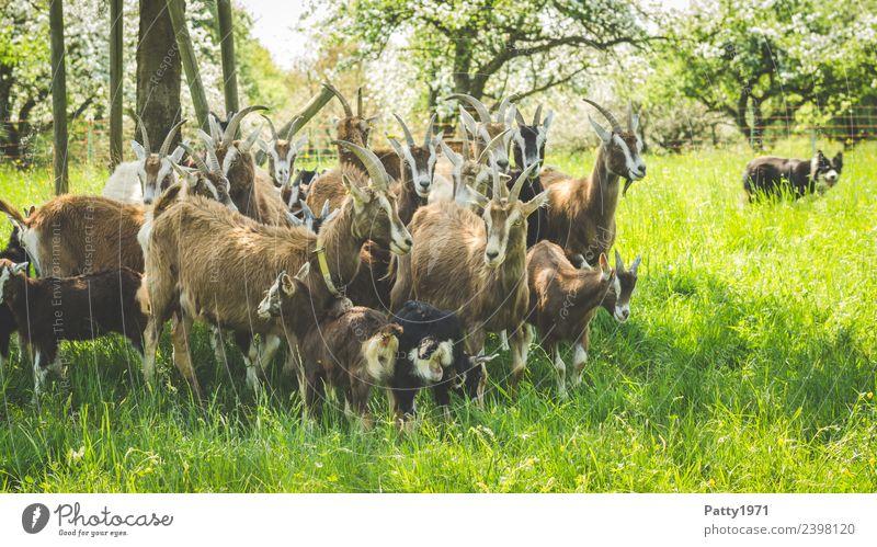 Border Collie hütet Ziegenherde Natur Landschaft Wiese Weide Tier Haustier Nutztier Hund Thüringer Waldziege Hirtenhund Schäferhund Herde beobachten braun grün